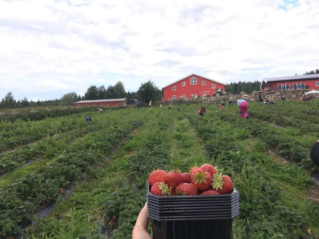 Práce na jahodové farmě v Norsku