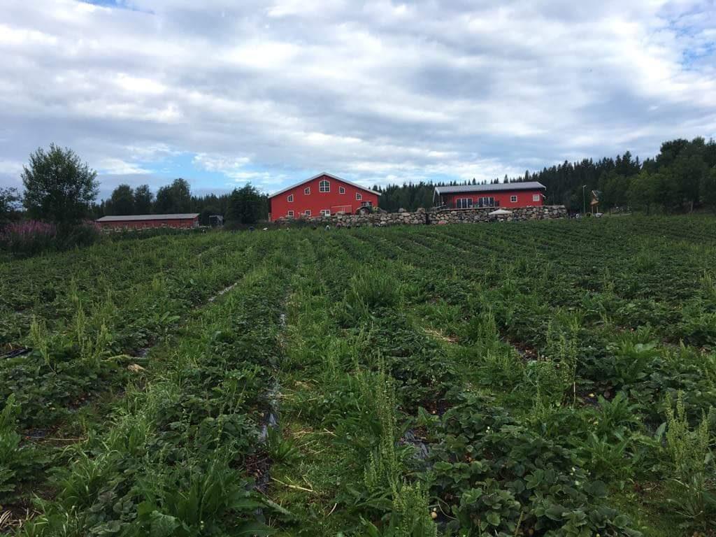 práce na farmě v Norsku, sbírání jahod