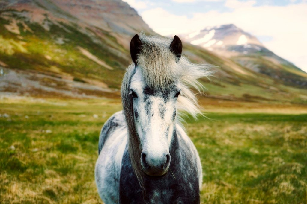 Islandský kůň východní Island