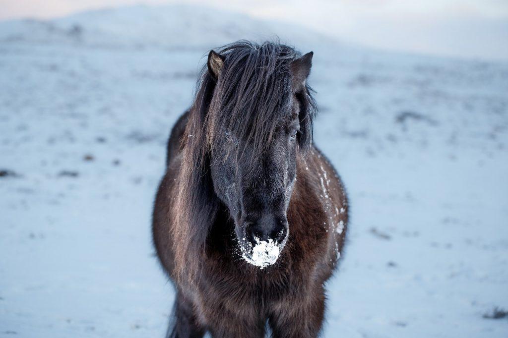 Počasí na Islandu v zimě: Islandský kůň