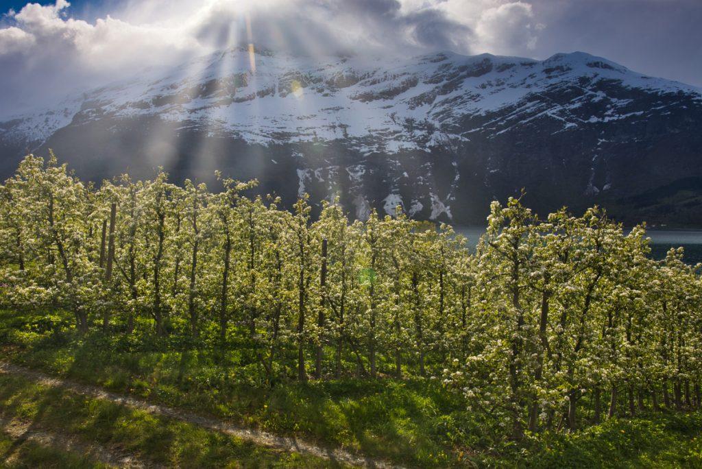 Jabloňové sady v Hardangeru, Norsko