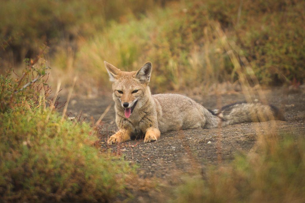 Fox in National Park Los Glaciares