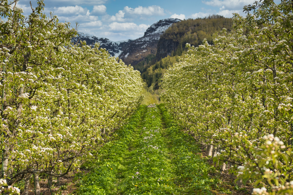 Fruit orchards in Hardanger