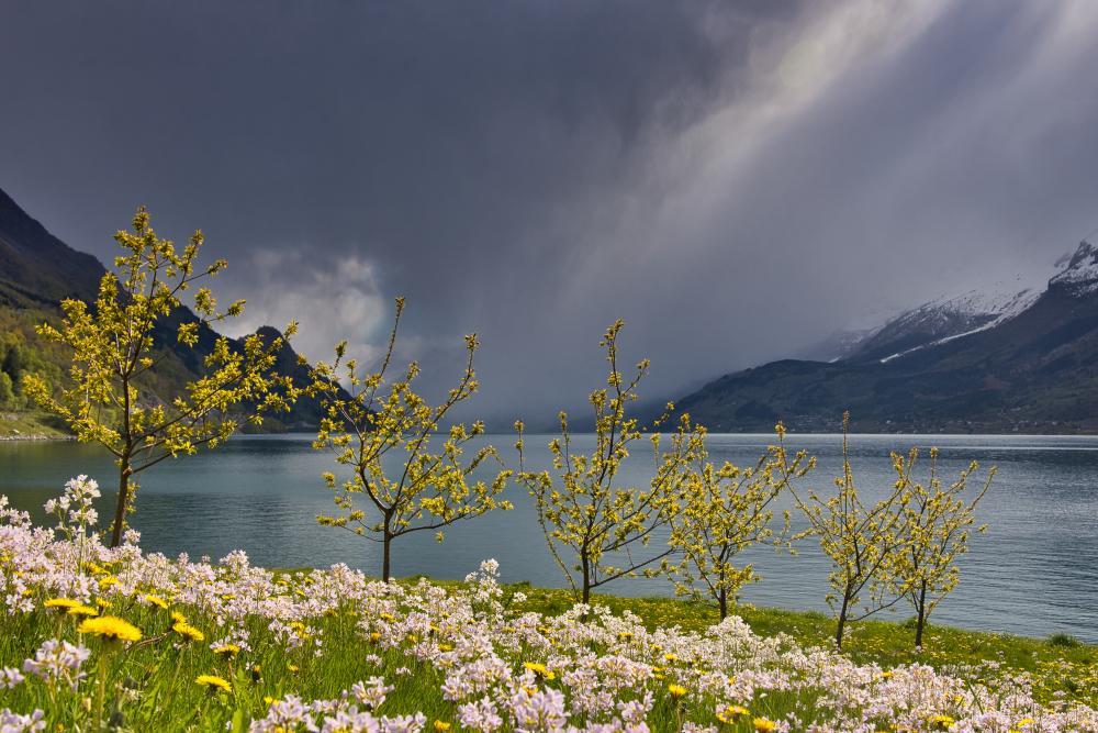 Tree Blossoming in Ullensvang, Hardanger