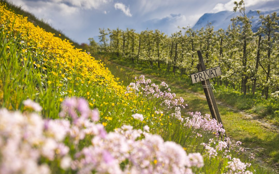Spring in Norway: The fruit orchards blossoming in Hardangerfjord