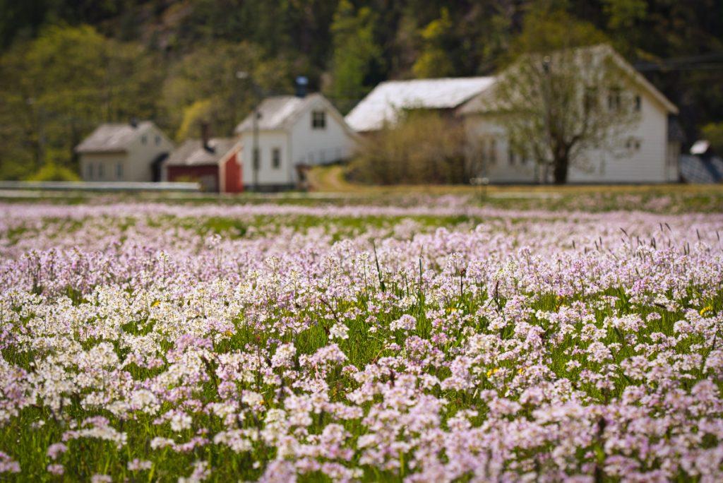 Jaro v Norsku: Rozkvetlé louky v údolí Oddadalen