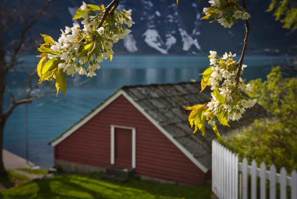 Kvetoucí třešně na březích Hardangerfjordu, Norsko na jaře