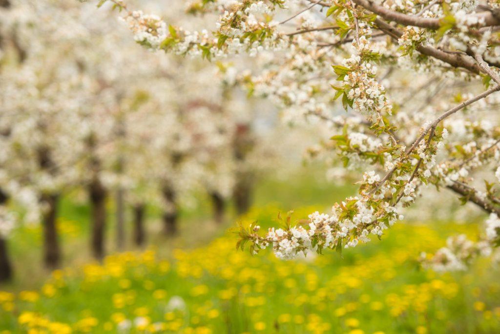 Kvetoucí třešňové sady v okolí Hardangeru v Norsku