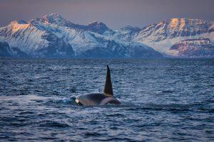 velryby v Norsku Skjervoy