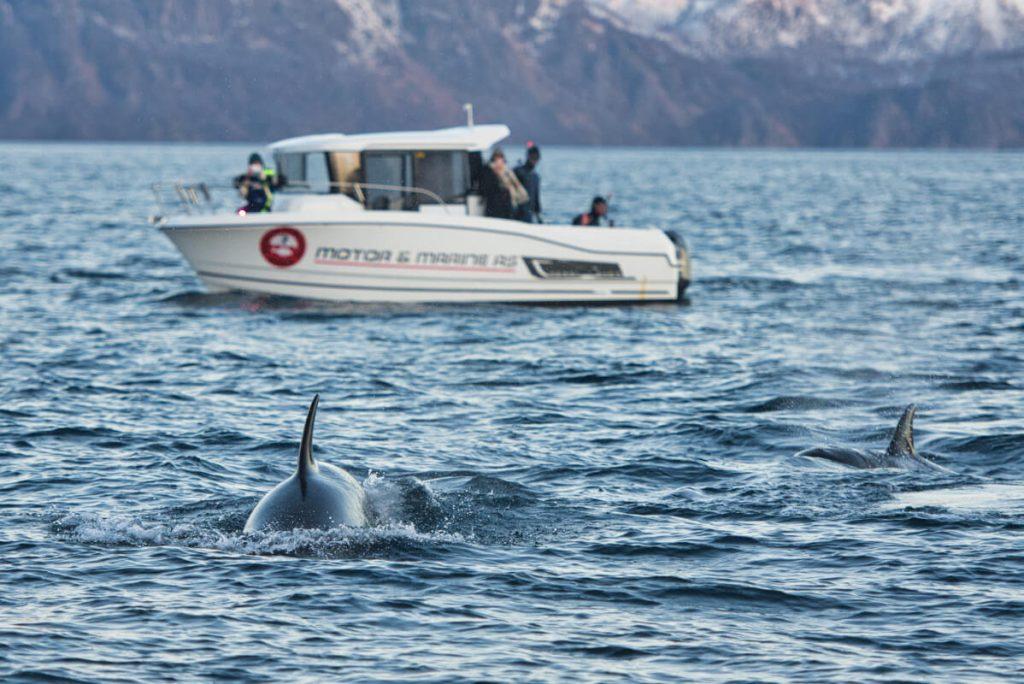 šnorchlování s kosatkami na severu Norska u ostrova Skjervoy