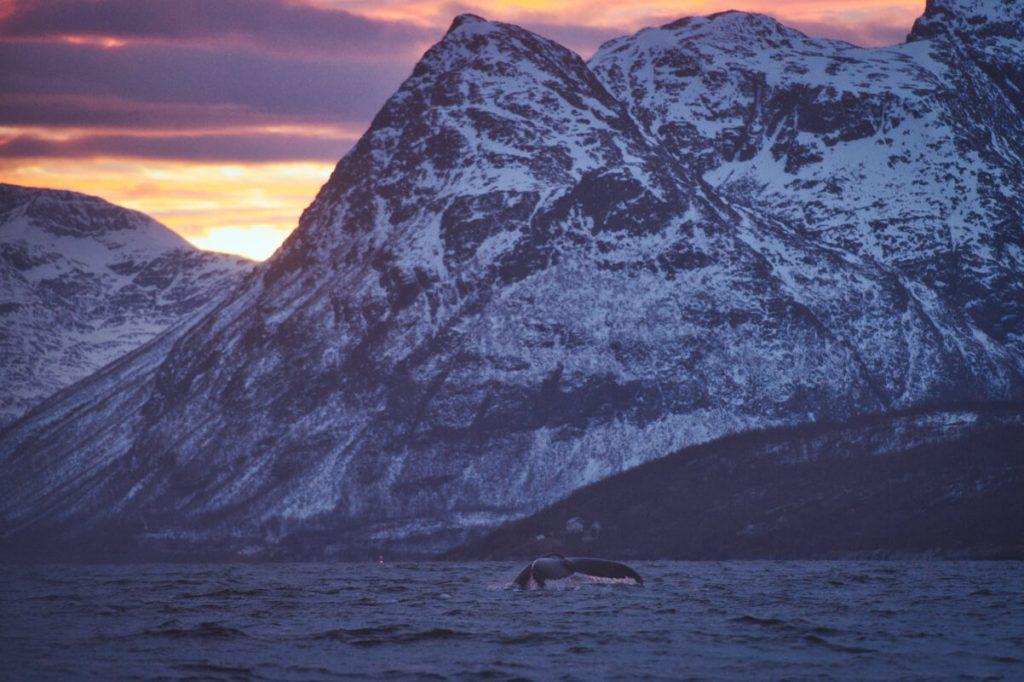 keporkak mávající ocasní ploutví na severu Norska u ostrovu Skjervoy