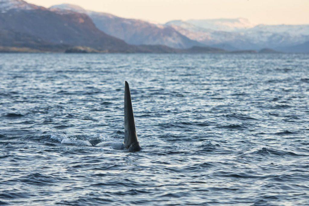 velryby v Norsku: kosatky u ostrova Skjervoy